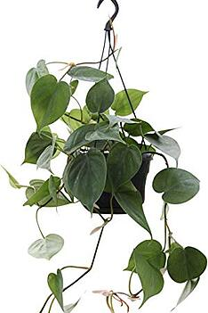 Image result for philodendron