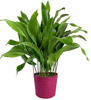 Image result for cast iron plant
