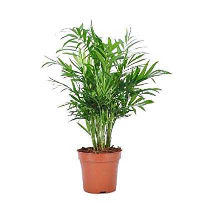 Image result for parlour palm
